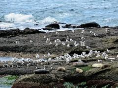 Seals and  Gulls (Bennilover) Tags: seals seal seagull gulls zoom lagunabeach treasureisland birds