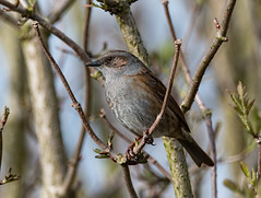Dunnock (phillipbonsai) Tags: leavalleypark hertfordshirebirds prunellamodularis dunnock
