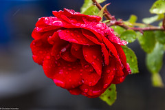 Rose im Regen (Christian Hoemke) Tags: badurach badenwürttemberg canoneos70d lightroomcc tamrondiii16300mm13563 deutschland de germany nature flower flowers rose rain raindrop waterdrop garden canon tamron tamron16300