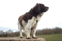 Benjy (billnbenj) Tags: benjy spaniel springerspaniel dog barrow cumbria king kingofhowtunwoods