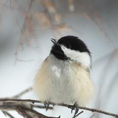 Chickadee-48886.jpg (Mully410 * Images) Tags: birdwatching birding singing backyard blackcappedchickadee bird birds birder chickadee