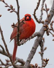 Cardinal (strjustin) Tags: cardinal animal bird