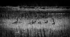 geese by light