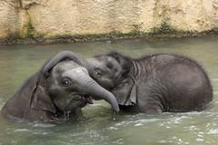 A New Year's Dive (K.Verhulst) Tags: mauk manoa olifanten elephants wildlands wildlandsadventurezoo asiaticelephants aziatischeolifanten emmen newyearsdive coth5 ngc npc