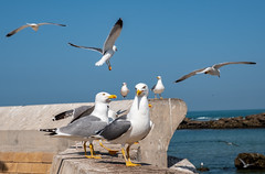 Essaouira, Harbour, Seagulls (RaKra42) Tags: hafen harbour marokko reise reisen tiere travelling africa animal animals architecture birds building construction lifestyle morocco seagull seascape staring travel wildlife