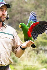 Eclectus Parrot on show (Greenstone Girl) Tags: people fffphotowalk australianwildlife birds trees fauna buildings cages conservation healesvillesanctuary eclectus parrot spirit sky show bright