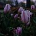 Evening Tulips 4/7/19 #nashville #flowers