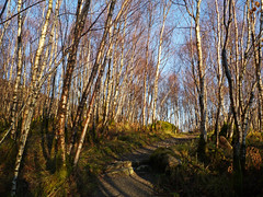Birch woodland, Glasdrum National Nature Reserve (Niall Corbet) Tags: scotland argyll nnr nationalnaturereserve glasdrum birch