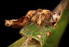 Lynx Spider (Oxyopes sp., Oxyopidae), male (John Horstman (itchydogimages, SINOBUG)) Tags: macro china yunnan itchydogimages sinobug spider arachnid lynx oxyopidae fb tumblr