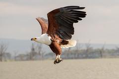 Fish Eagle (sam.healy) Tags: fish eagle bird