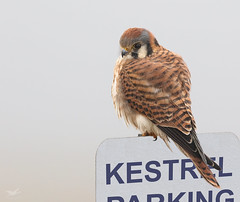 Kestrel I (dennis_plank_nature_photography) Tags: americankestrel avianphotography ridgefieldnwr birdphotography naturephotography ridgefield wa avian birds nature