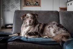 Sir Jamie 👑 (unbunt.me) Tags: australianshepherd aussie dog hund