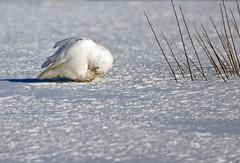 Snowy Owl ♂ - Harfang des neiges ♂ - Bubo scandiacus (D72_0065-1PE-20190304) (Michel Sansfacon) Tags: harfangdesneiges snowyowl buboscandiacus nikond7200 sigma150600mmsports