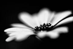 Flower (leopc.lin) Tags: summilux 50mm 14 voigtalnder ve close focus adapter kenko dg extension tube16mm10mm sony a6000 nex flower macro leica closeup floral garden