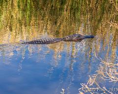 Sculling in Pilant Lake (BFS Man) Tags: brazosbend pilantslough texas alligator gator reptile statepark water