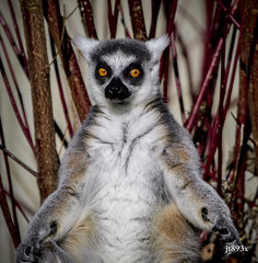 Ring-tailed Lemur (jt893x) Tags: 150600mm d500 jt893x lemur lemurcatta nikon nikond500 primate ringtailedlemur sigma sigma150600mmf563dgoshsms thesunshinegroup coth alittlebeauty coth5 sunrays5