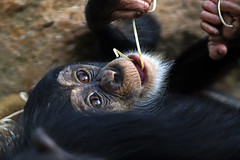 Schimpanse (Michael Döring - thx for 20.000.000 views) Tags: gelsenkirchen bismarck zoomerlebniswelt zoo schimpanse chimpanzee kojo afs600mm40e d850 michaeldöring
