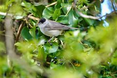 Blackcap (sumowesley) Tags: bird blackcap fauna hamwall nature