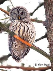 Barred owl (clive_bryson) Tags: bird barredowl shuswap britishcolumbia canada