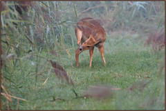 Chinese Water Deer (image 2 of 2) (Full Moon Images) Tags: woodwalton fen greatfen bcn wildlife trust nnr national nature reserve cambridgeshire animal mammal chinese water deer