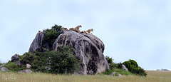 LION 12 (Nigel Bewley) Tags: tanzania africa wildlife nature wildlifephotography nigelbewley photologo appicoftheweek safari gamedrive lion pantheraleo simba lionrock priderock maswagamereserve march march2019 kopje bigcat