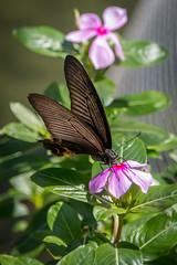 Papillon au Hong Kong Park (Seb & Jen) Tags: hongkong asia asie park parc papillon butterfly island