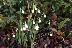 DSC_2476 Snowdrops (PeaTJay) Tags: nikond750 sigma reading lowerearley berkshire macro micro closeups gardens indoors nature flora fauna plants flowers snowdrops