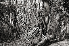 im korkus 279 (beauty of all things) Tags: eschweiler wald forest imkorkus wirrwarr tangle entropy dschungel jungle bw sw gestrypp gestrüpp scrub