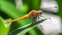 PB180099.jpg (Roger OZ) Tags: fauna dragonfly bugorinsect