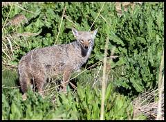Coyote (Ed Sivon) Tags: america canon nature lasvegas wildlife wild western southwest desert clarkcounty vegas flickr bird henderson nevada park