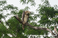 White-bellied Sea Eagle (Haliaeetus leucogaster), juvenile DSC_0763 (fotosynthesys) Tags: whitebelliedseaeagle haliaeetusleucogaster seaeagle eagle accipitridae raptor bird srilanka