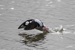 7K8A1113 (rpealit) Tags: scenery wildlife nature edwin b forsythe national refuge brigantine bufflehead duck bird