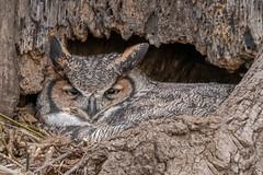 UPDATE (please read) (Kevin E Fox) Tags: greathornedowl owl ephrata pennsylvania raptor bird birdwatching birds birdofprey birding sigma150600sport sigma nature nikond500 nikon