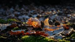 Naturschutzgebiet Mönchbruch (nordelch61) Tags: deutschland hessen heimat naturschutzgebiet mönchbruch mörfeldenwalldorf rüsselsheim wald bäume totholz moos äste wurzeln zweige forest trees roots wood