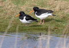 Oystercatcher (Liam Waddell) Tags: birds sky pow burn prestwick ayrshire scotland oystercatcher flying grass water