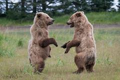_HB30377 (Hilary Bralove) Tags: lakeclarknationalparkbrownbearsbearsalaskanikonwildlifegrizzlygrizzlybearbrownbearanimalswildlifephotographer alaksa brownbears grizzlybears bear bears grizzly brownbeargrizzly bearlake clarkwildlifealaska wildlifenikonlake clark national park