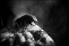 Green Rose Chafer II (Eklandet) Tags: aurata beetle cetonia chafer rose fruit insect macro macrophotography dust dusty monochrome monochromephotography bw svartvitt black white blackandwhite blackandwhitephotography blackandwhitephoto blackandwhitephotonatur fineartphotography