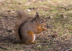 red squirrel (alderson.yvonne) Tags: red squirrell nikon d7200 northumberland wild woodland