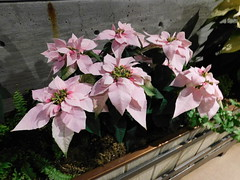 DSCN1089 (f l a m i n g o) Tags: 2018 december 20th dbg blossomsoflight holiday christmas plant