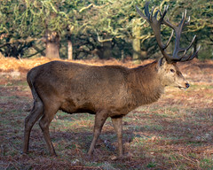 Red Deer, Richmond Park, London, UK (rmk2112rmk) Tags: deer reddeer richmondpark stag morning nature mammal animal richmond park uk