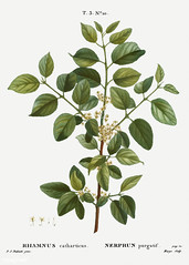 Common buckthorn (Rhamnus catharticus) illustration from Traité