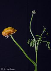 Renoncule 02 (letexierpatrick) Tags: renoncule fleur flower flowers fleurs floraison botanique bouquet vase couleur couleurs colors coeurdefleurs fondnoir france europe explore nature nikond7000 nikon orange old garden