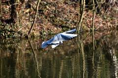 Basingstoke Canal Ash Vale 22 February 2019 022 (paul_appleyard) Tags: basingstoke canal ash vale february 2019 gull landing water