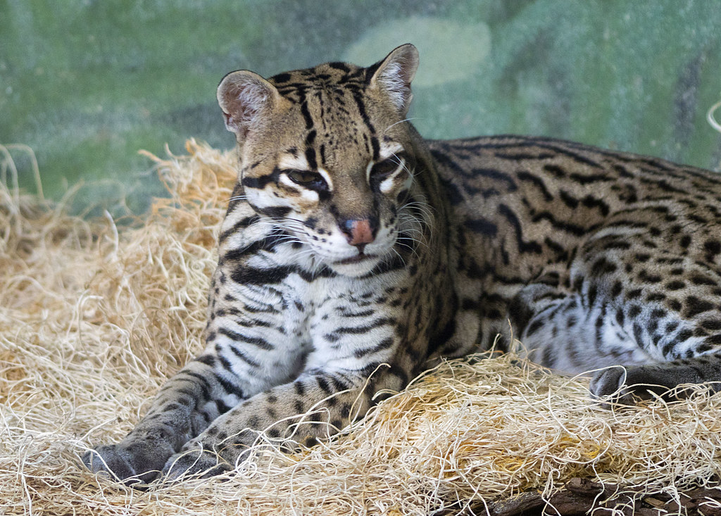 The World's Best Photos of cat and ocelot - Flickr Hive Mind
