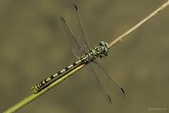 Cenital de forcipatus (Ricardo Menor) Tags: odonatos odonata anisópteros libélulas dragonflies dragonfly airelibre iluminaciónnatural insecto macrofotografía canon60d 2018 onychogomphusforcipatus macho male vistacenital ríochícamo ríochícamo2018 libélulasmurcianas