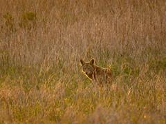 Coyote golden moment (stonebird) Tags: coyote canislatrans ballonawetlandsecologicalreserve areaa march img0281