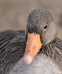 Greylag Goose (MJ Harbey) Tags: bird waterfowl goose greylaggoose anseranser animalia aves anatidae anser willenlake miltonkeynes buckinghamshire nikon d3300 nikond3300