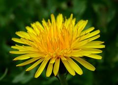 Taraxacum (M.L Photographie) Tags: fleur flower nature france normandie eure sony dschx400v flore flora