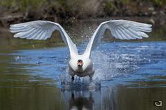DGOD2402-Modifier (goddam333) Tags: cygne envol ailes wings swan liftoff decollage