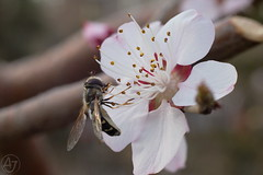Spring begins to bloom (AJ - Andrew Jones) Tags: beijing china asia spring outdoor outside nature insect bug flower natural